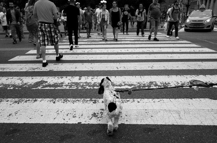 Rufus Zebra Crossing Large Group Of People Lifestyles Road Marking Men Walking Leisure Activity Street Road City Dog Love Dogs Of EyeEm City Life Crosswalk Day Outdoors The Way Forward Crowd City Life NYC Street Photography EyeEm Best Shots This Week On Eyeem New York City Shootermag