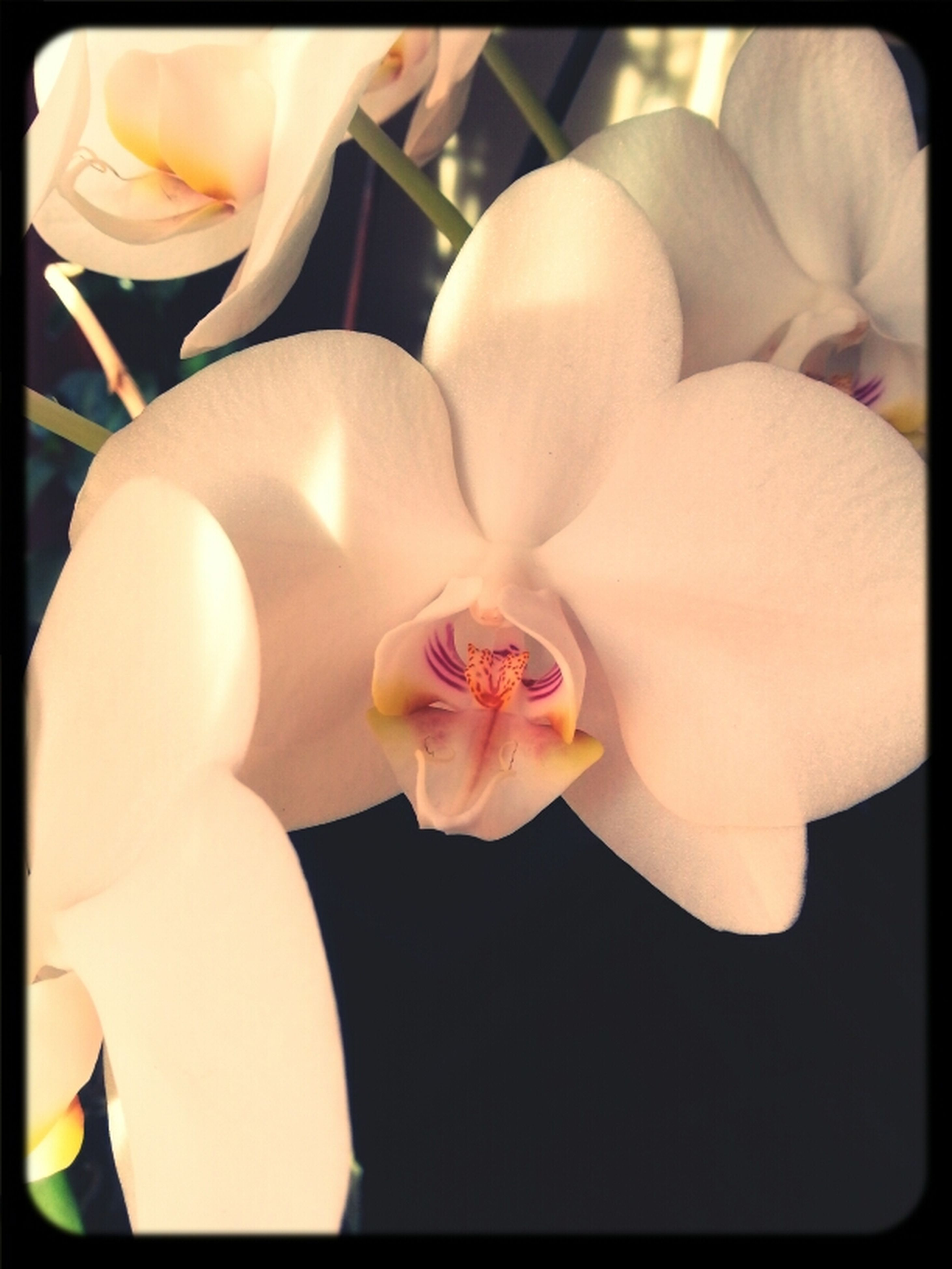 flower, petal, transfer print, flower head, fragility, freshness, close-up, auto post production filter, white color, indoors, beauty in nature, growth, blooming, nature, orchid, focus on foreground, no people, plant, blossom, high angle view