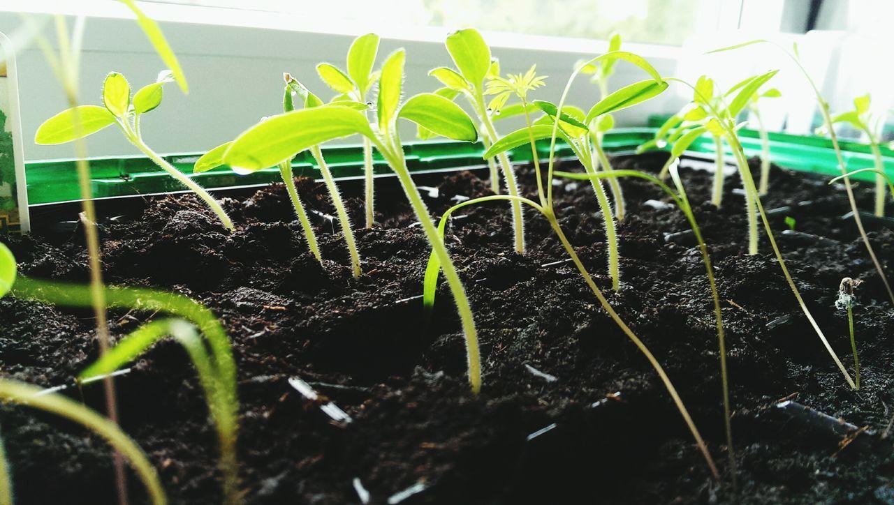 Tomaten Tomatoes Gartenglück Gewächshaus