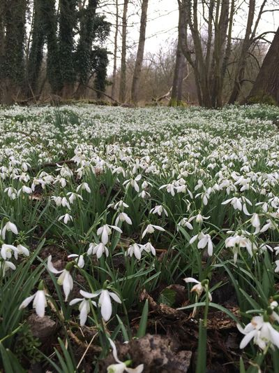 Abundance Botany Change Close-up Day Flower Focus On Foreground Fragility Freshness Full Frame Growing Growth Leaf Nature No People Plant Snowdrops Springtime White White Color