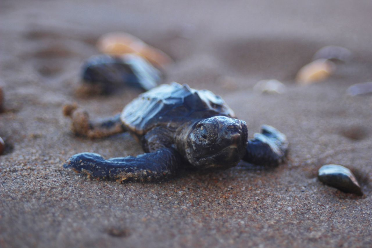 Determined. Sand One Animal Animal Themes Close-up Animals In The Wild No People Animal Wildlife Beach Outdoors Day Nature Sea Life Canon Photography Photographer QLD Austraila Travel Destinations Nature EyeEmNewHere Environment Beauty In Nature Turtle Seaturtle Hatchling