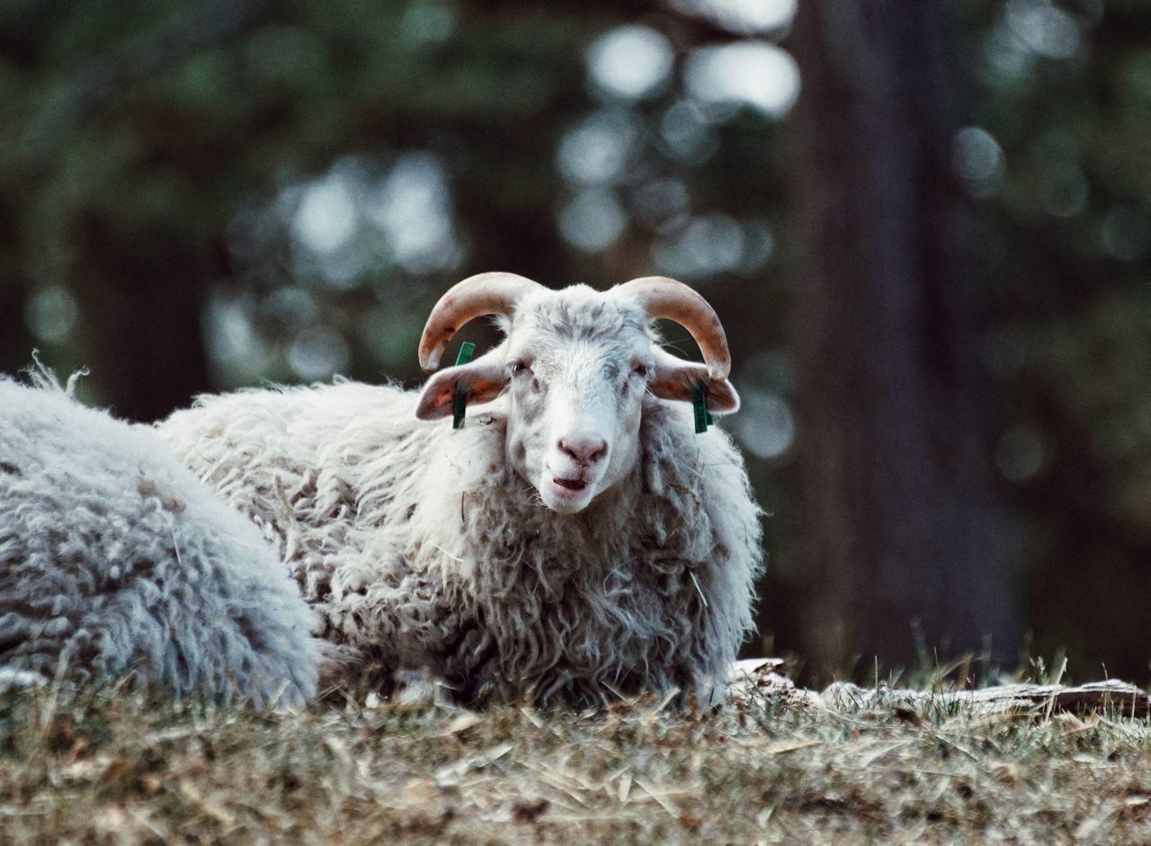 EyeEm Selects 2017 Juli Niklas Showcase July 2017 Sweden Torekällberget Södertälje Livestock Domestic Animals Animal Themes Mammal Agriculture Nature Sheep