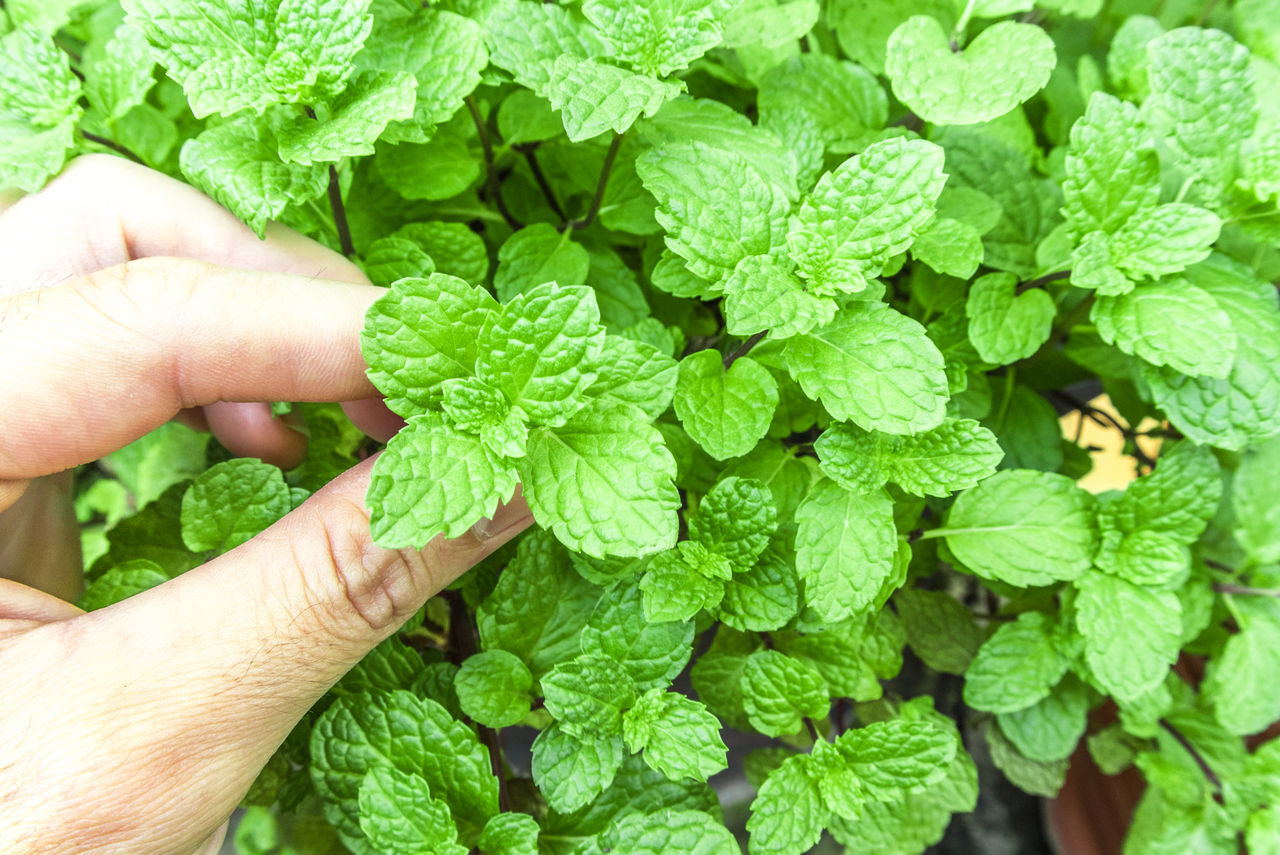 Hand and pepper mint at the nature Close-up Clover Day Food Freshness Green Color Holding Human Body Part Human Finger Human Hand Leaf Lifestyles Nature One Person Outdoors Pepermint Plant Real People Unrecognizable Person