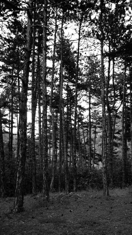 Nature Forest Tree Beauty In Nature Day Outdoors Tree Area Pine Trees Pine Woodland сосна лес и природа деревья Tree Trunk Art ствол Scenics Лес Wood Tree Trunk No People Tranquility Tree Beauty In Nature Nature Growth Black And White Friday