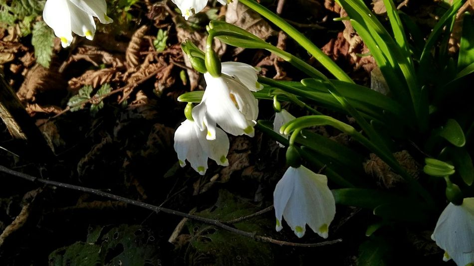 Frühlingsboten Frühlingsknotenblume Green Color Beauty In Nature Growth Plant Fragility Leaf Nature Freshness Outdoors Close-up Flower Head No People Flower Day