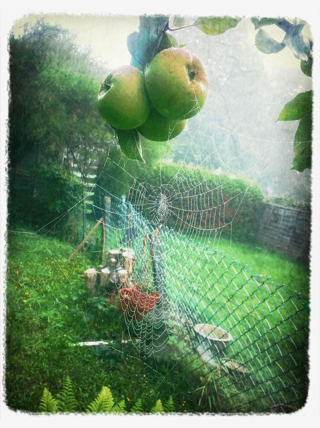 Cobweb Apple