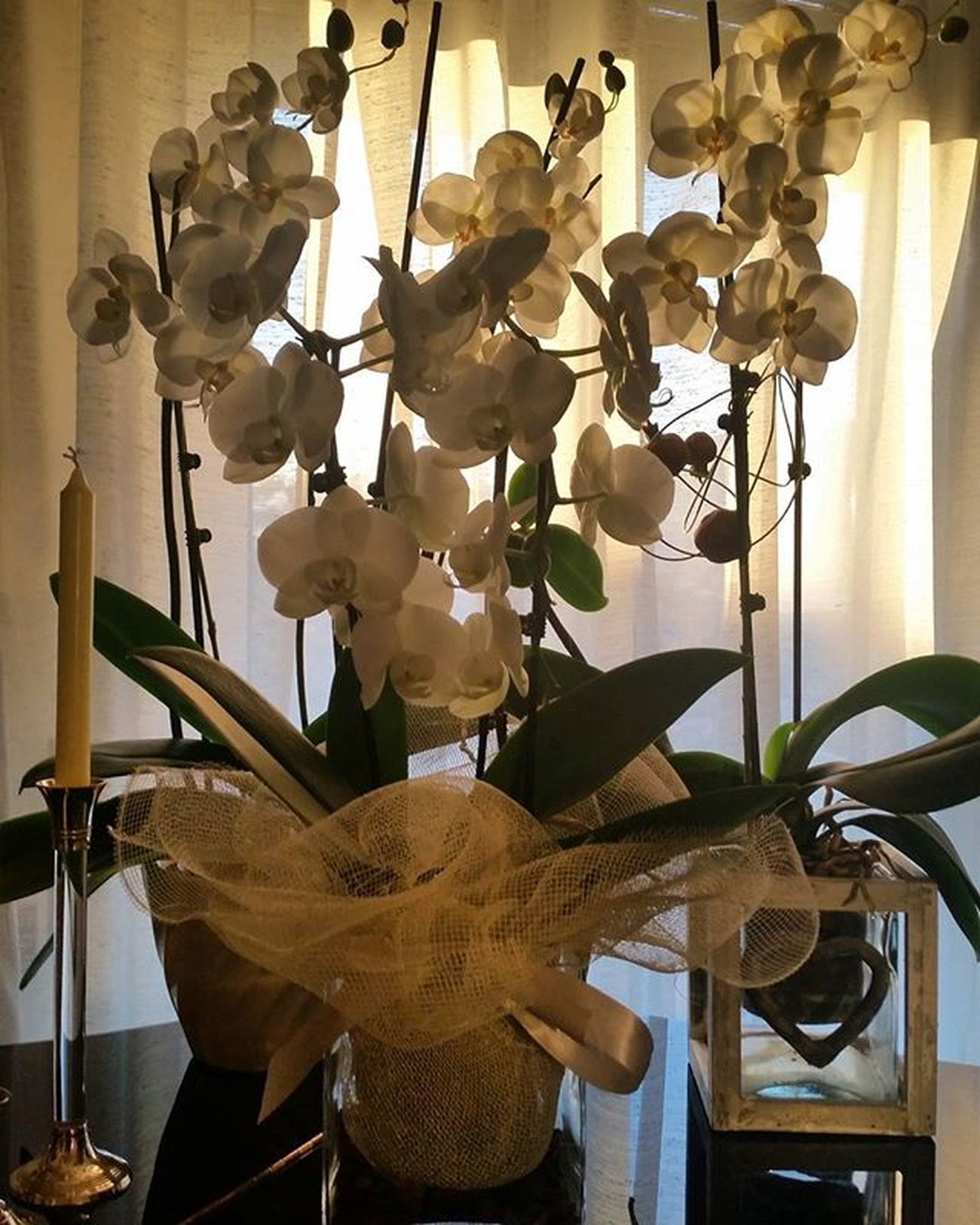 Orchids.. Luino Home Orchid