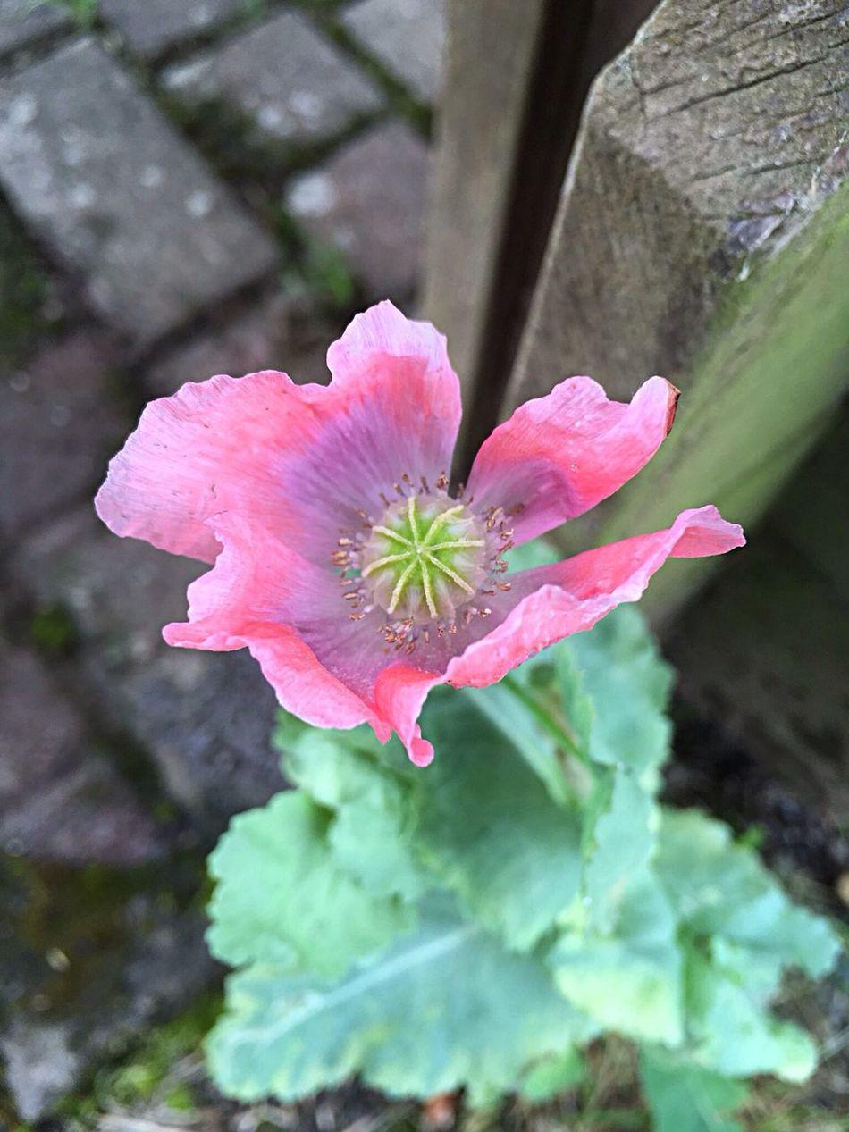 Flowerporn Poppy Flower Pastel Power Pink Flower