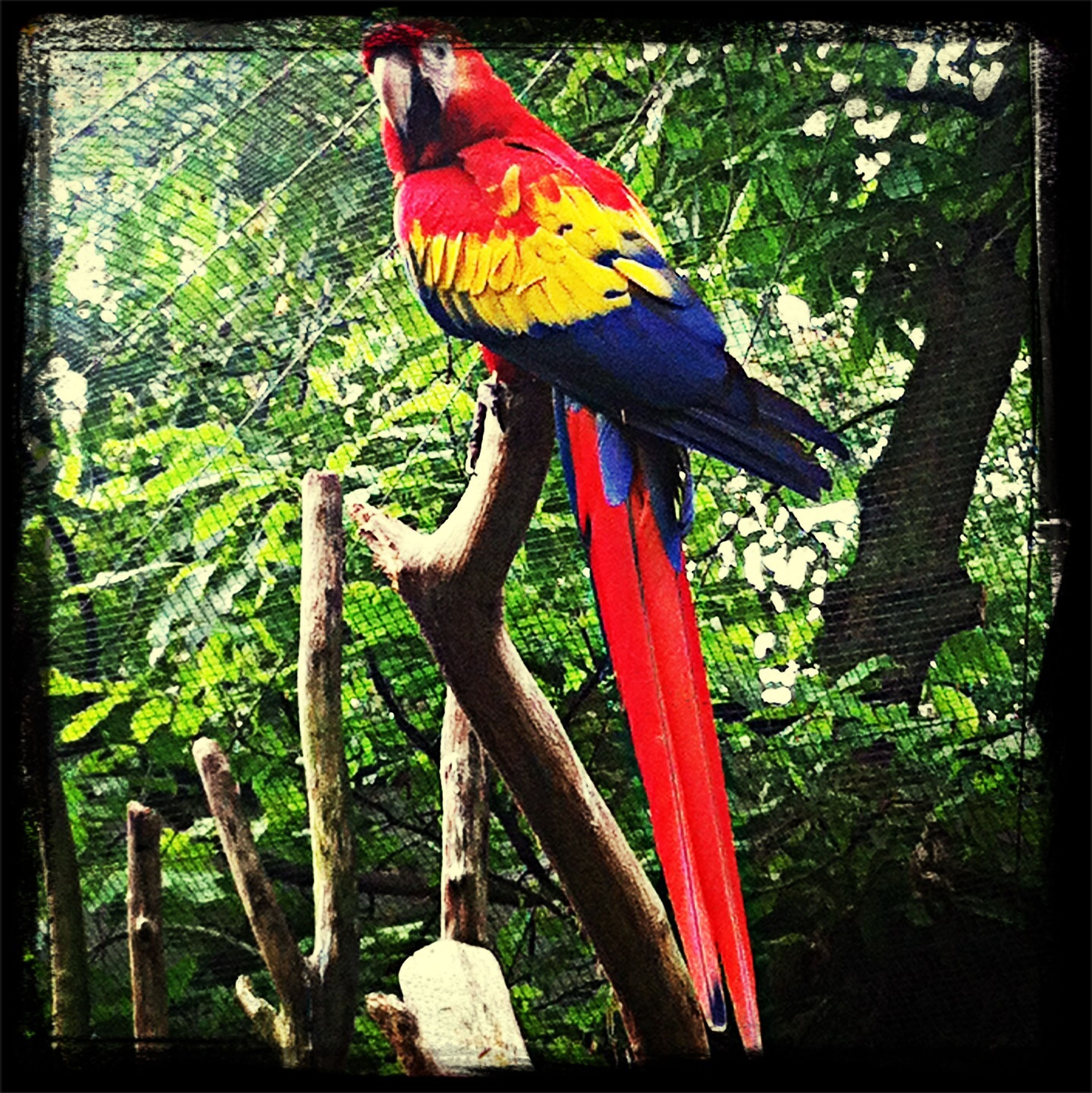 bird, animal themes, one animal, animals in the wild, tree, transfer print, wildlife, auto post production filter, perching, multi colored, parrot, beak, nature, red, focus on foreground, day, close-up, beauty in nature, full length, outdoors