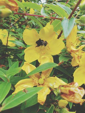 Bee 🐝 Flowers Summer Yellow Flower HoneyBee Showcase July Animal Photography