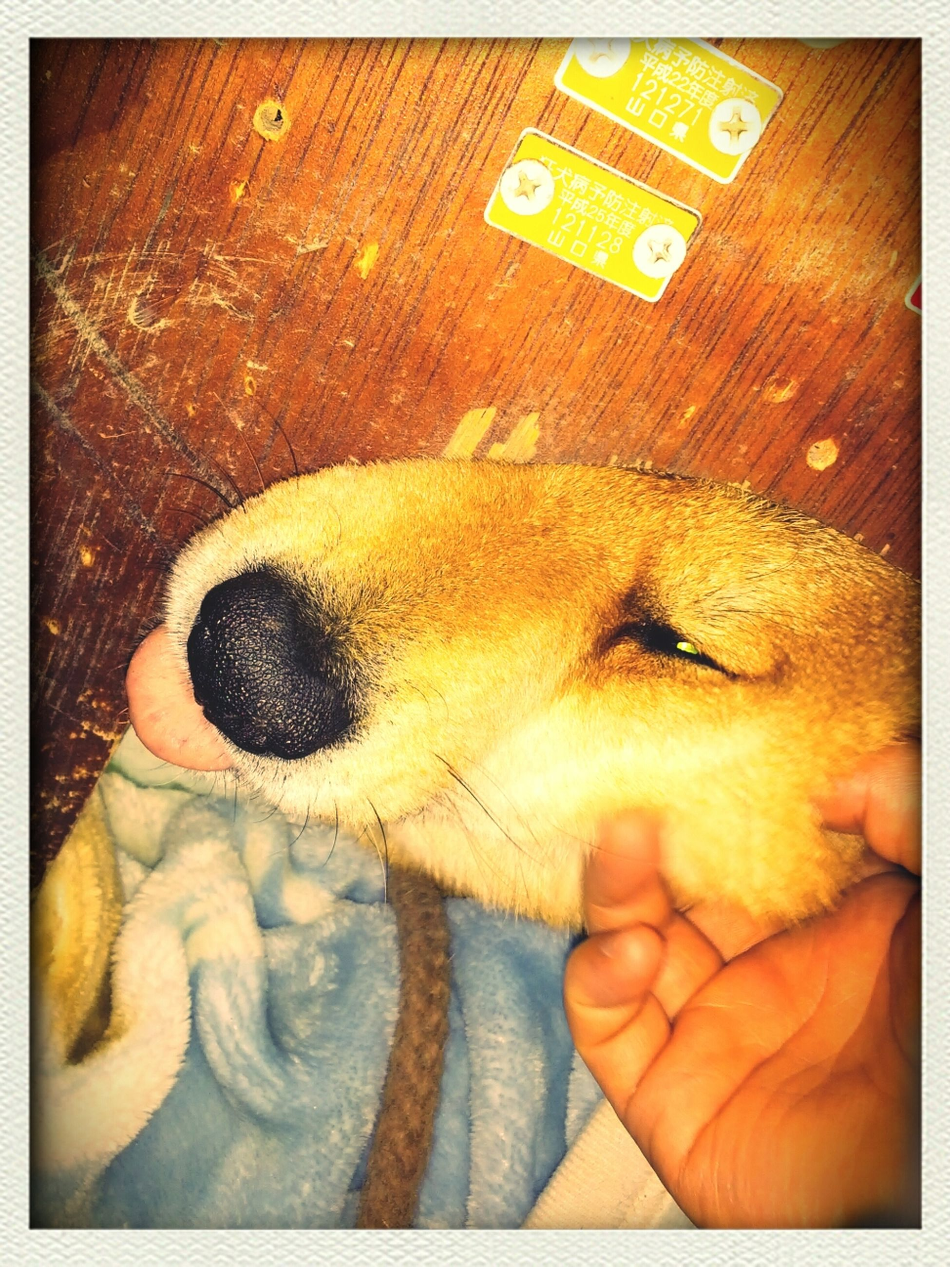 transfer print, auto post production filter, indoors, pets, person, holding, animal themes, dog, one animal, high angle view, domestic animals, close-up, part of, mammal, lifestyles, human finger, sleeping