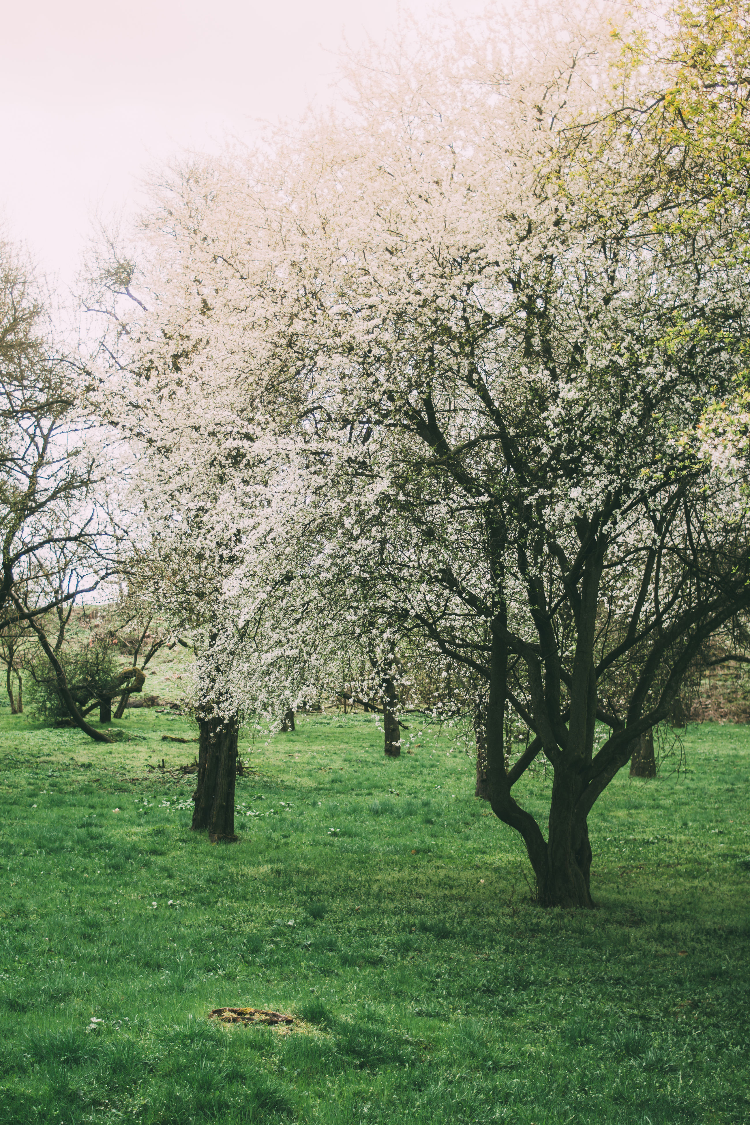 tree, nature, beauty in nature, growth, branch, blossom, orchard, springtime, apple tree, flower, grass, apple blossom, scenics, field, tranquility, no people, freshness, day, tranquil scene, landscape, outdoors, fragility, agriculture, sky