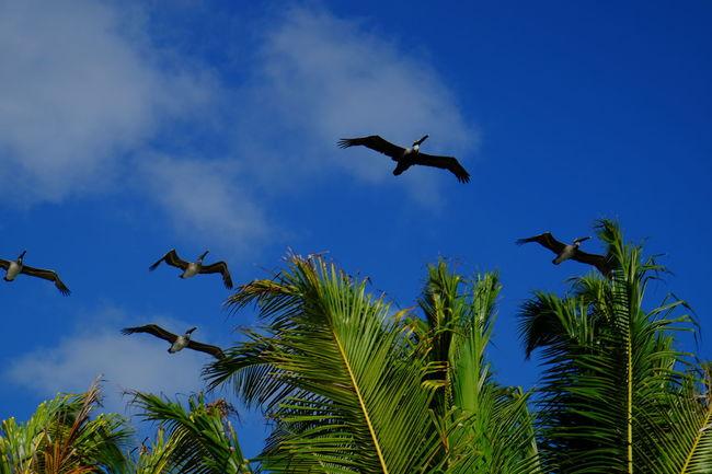 Pelicans cruise along the shore in Cancun, Mexico. Eye4photography  Blue Sky Birds Pelican Green Palm Trees Mexico Cancun Sun Warm Vacation