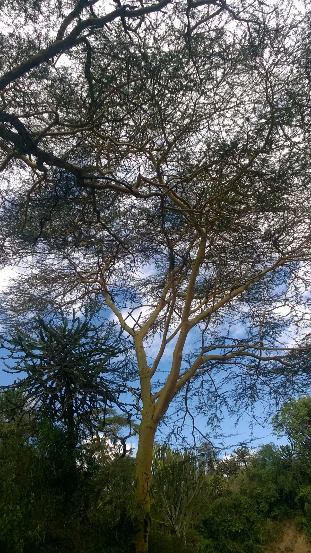 Acacia Tree Beauty In Nature Branch Close-up Day Growth Intertwined Branches Low Angle View Nature No People Outdoors Sky Tranquility Tree