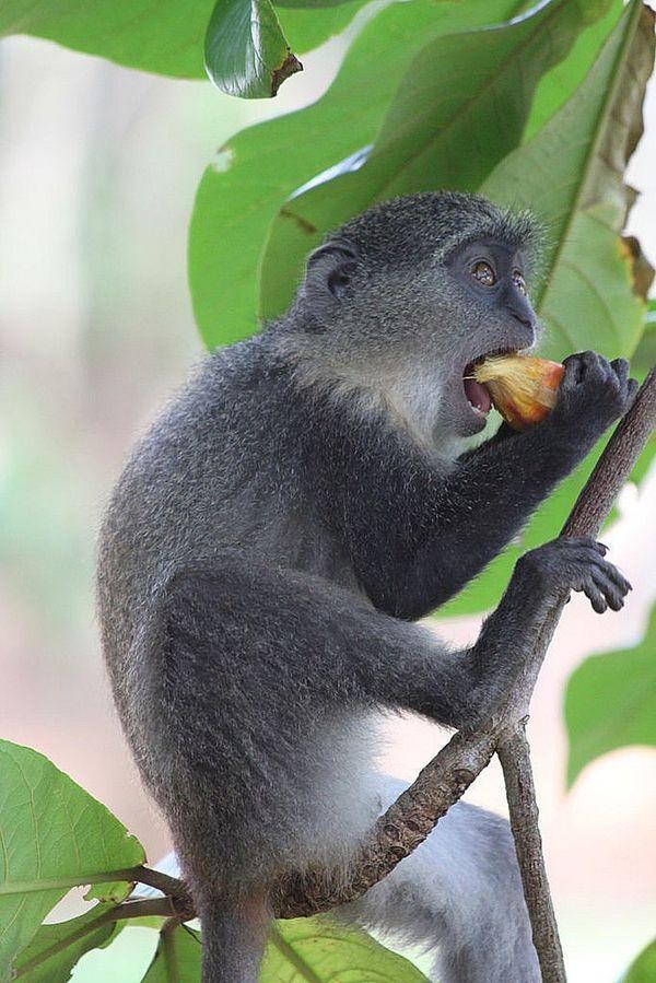 Diademened Monkey Zanzibar_Tanzania Fumba Beach Wildlifephotography Zanzibar Nature Photography Animals In The Wild Wildlife And Nature Animals Diademmeerkatze Wildlife & Nature Diademm