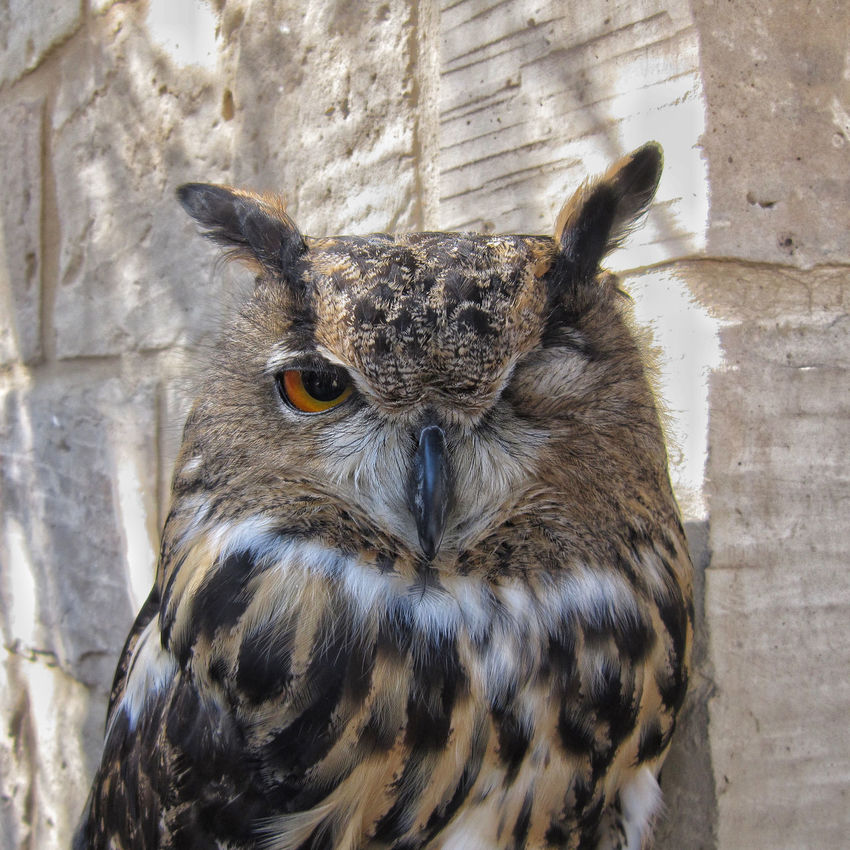 Eurasian Eagle Owl Bird Photography Bright Eyes Eurasian Eagle Owl  Horned Owl Strigidae Wildlife Photography Animal Themes Animals In The Wild Beauty In Nature Bird Bird Of Prey Bubo Bubo Close-up Closed Eyes Day Looking At Camera Nature No People One Animal Outdoors Owl Owl Eyes Portrait Posing