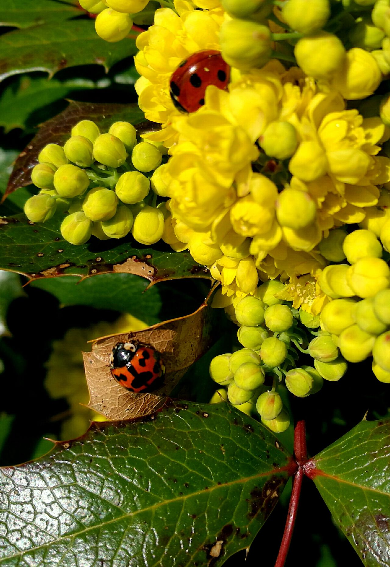 Insect Animal Themes Leaf Animals In The Wild Yellow Nature Ladybug Growth Plant Flower Flower Head Beauty In Nature Animal Wildlife Ladybug🐞 Ladybeetle Ladybugs Bugs Insects  Nature HuaweiP9Photography Huawei P9 Leica Huaweiphotography HuaweiP9 Insect Photography