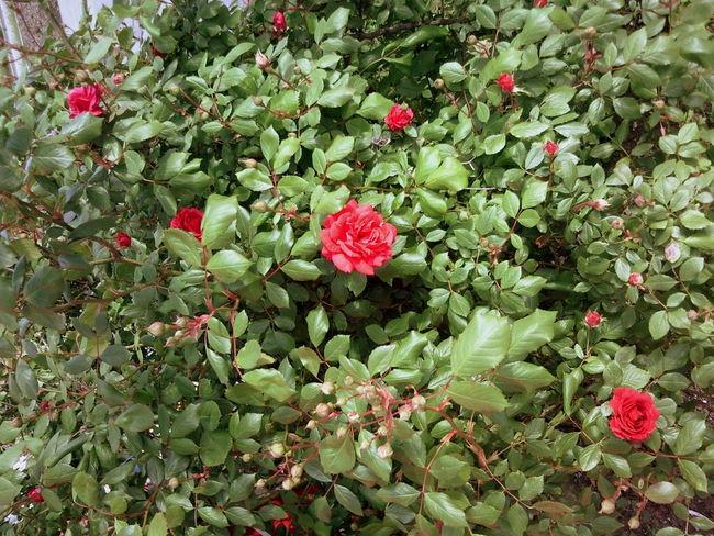Flower Flowers Nature Novorossiysk Roses Red & Green Red Roses Roses Shrub Shrub Roses Shrubs Spring