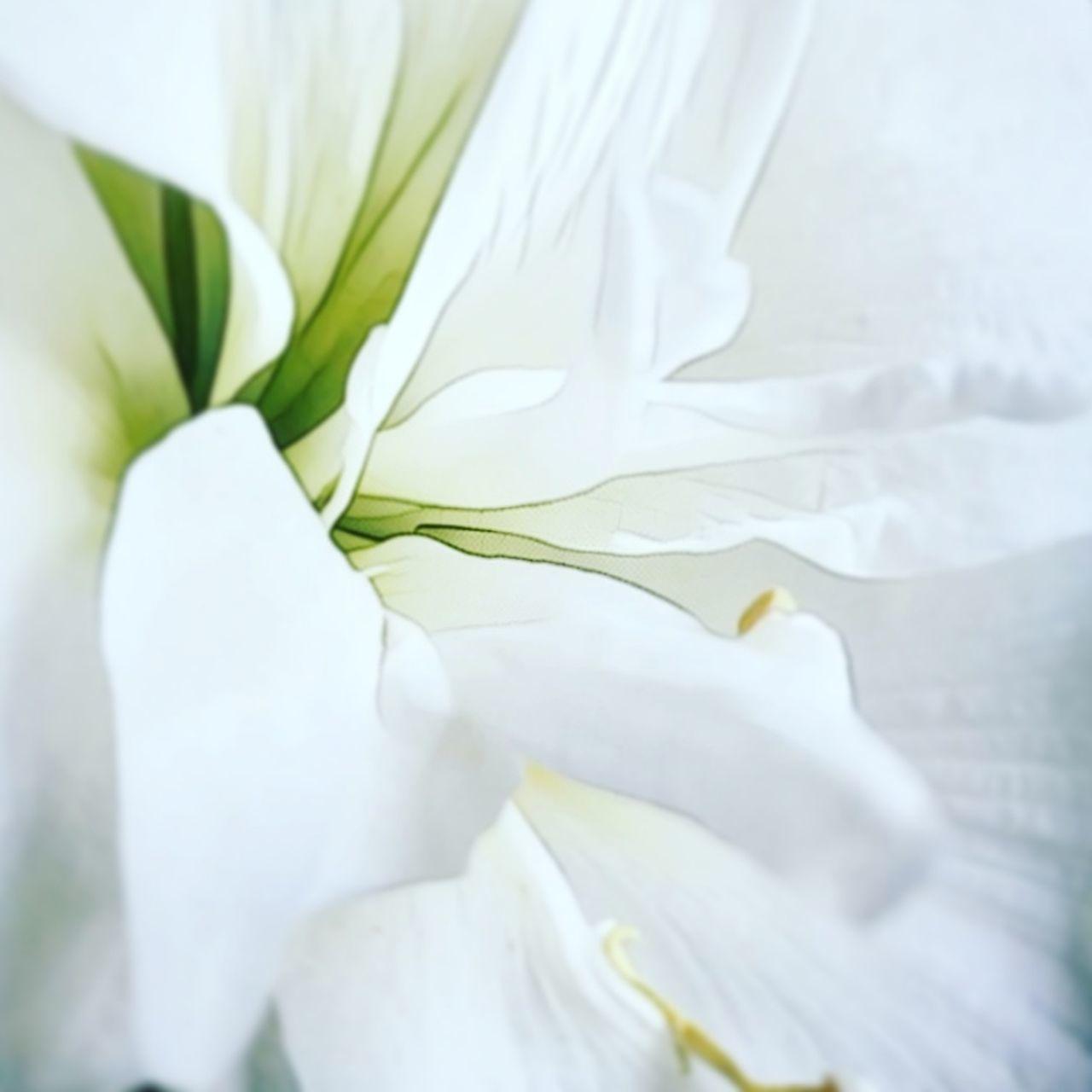 White Flower White Color Flower Amarylis Weiss Weiss Blütenzauber Blütenschönheit Flowerporn Flowers Blüte