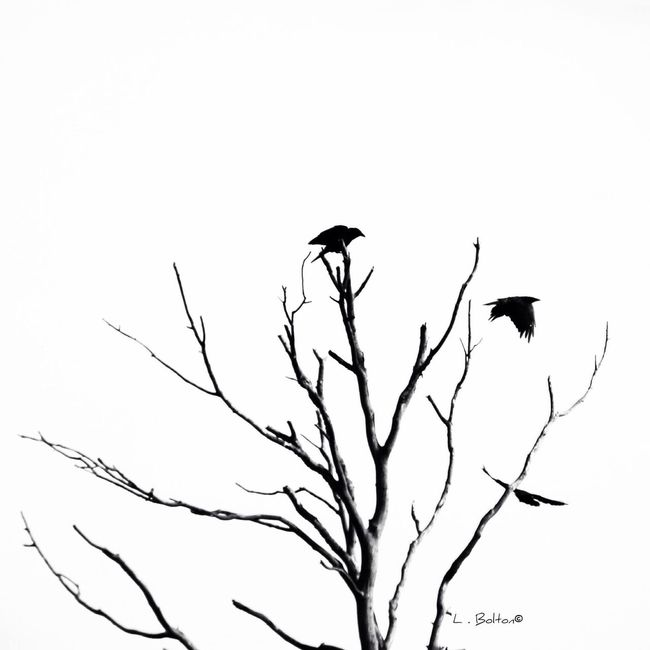 Bird Silhouette Tree Silhouette Birds In A Tree Tree Bird Minimalism Simplicity Canonphotography Bnw Taking Photos Hello World Lookingup My View Perspective