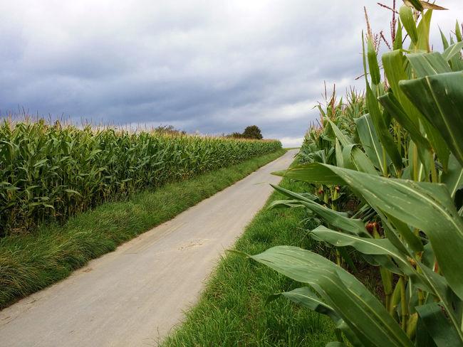 Mais Maisfeld Corn Cloudy