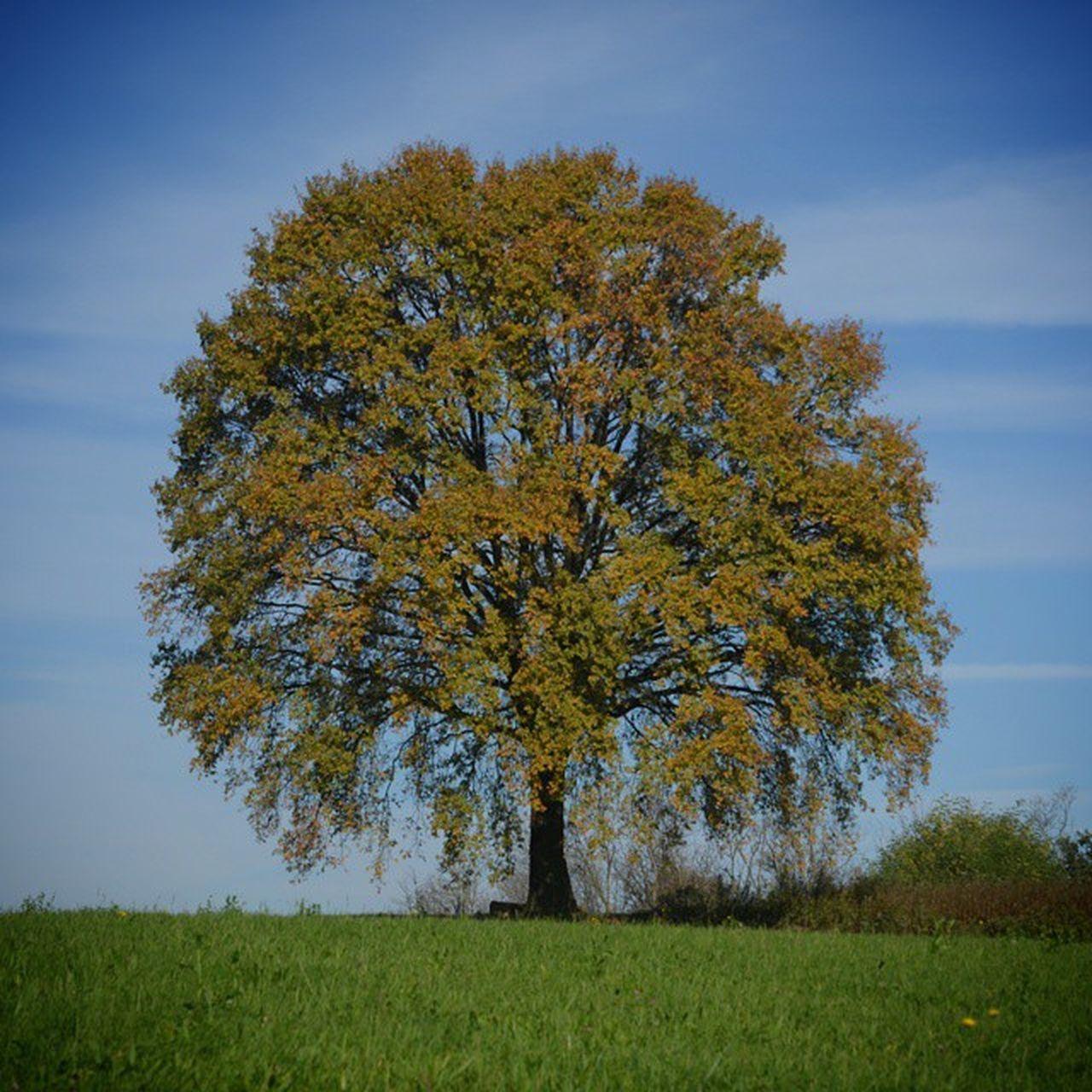 la bellissima vecchia quercia di (the beautiful old oak tree of) Caronno Corbellaro LivingLaDolceVita Rto