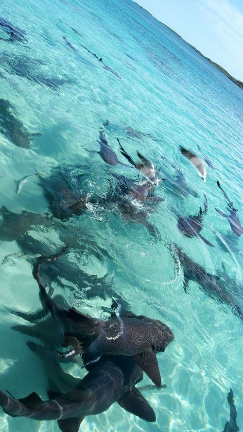 Underwater Water Sea UnderSea Swimming Sea Life Large Group Of Animals Nature Outdoors Full Length Beauty In Nature Day Scuba Diving No People Animal Themes Close-up Sky Mammal Sharks Nurse Shark Shark Exuma Travel Destinations Tourism Swimming