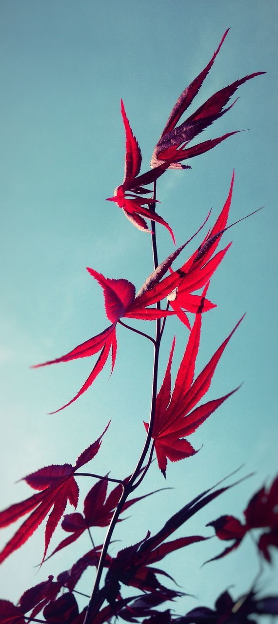 flower, fragility, red, petal, growth, beauty in nature, nature, freshness, flower head, leaf, low angle view, no people, day, plant, outdoors, close-up, blooming, sky, hibiscus