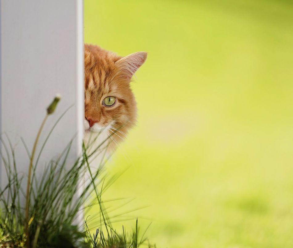 Buster Cat Pet Summer Green Orange Mainecoon Feline Danbury EyeEm Best Shots