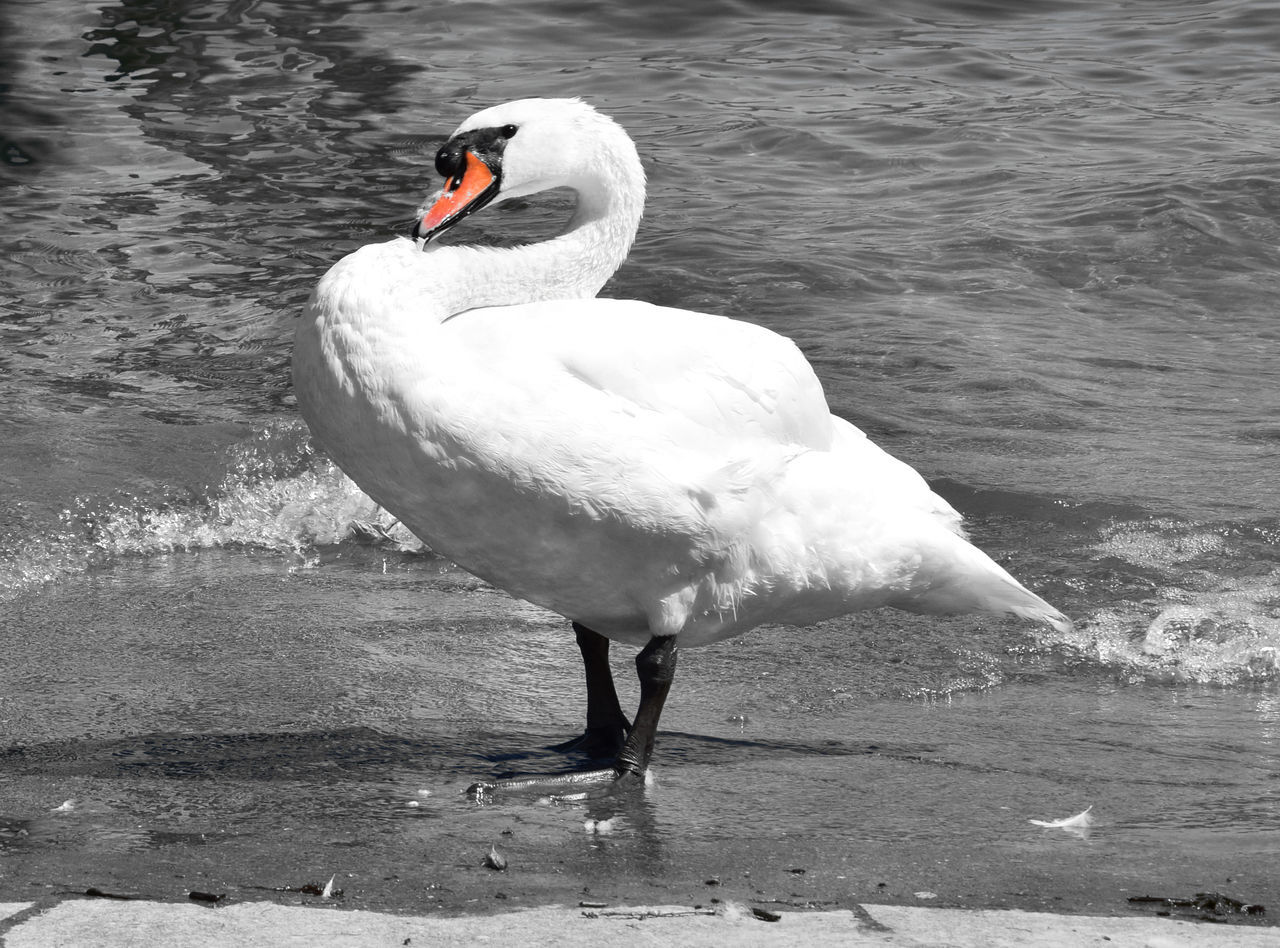 The proud swan Animal Themes Animals In The Wild Beak Beauty In Nature Bird Black And White Black And White With A Splash Of Colour Day Lake Lakeshore Lakeside Nature One Animal Outdoors Proud Swan Tranquility Water Water Bird Wildlife Zoology