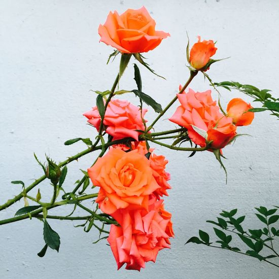 Flowers Ipone