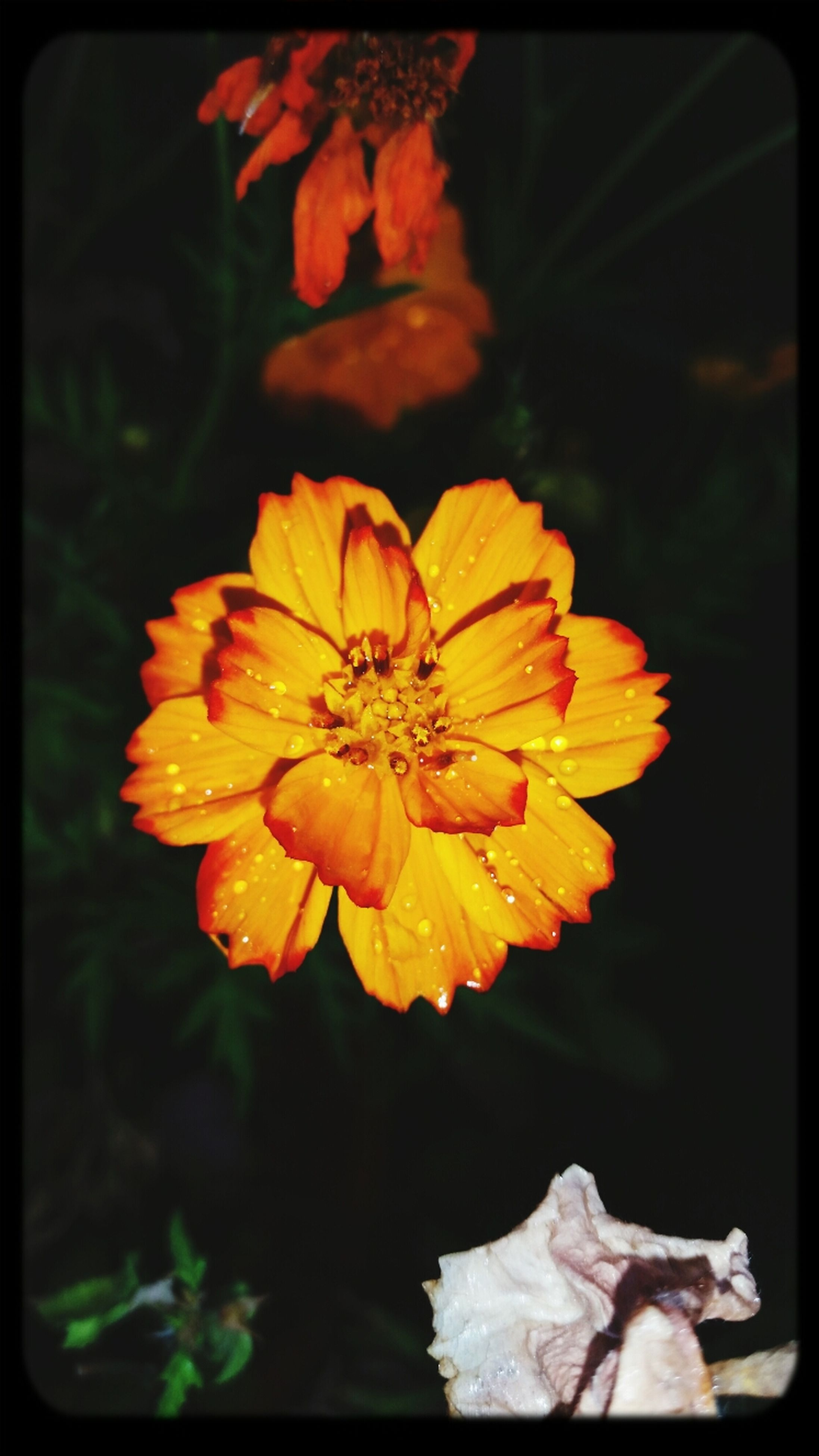 transfer print, flower, petal, flower head, fragility, freshness, auto post production filter, close-up, beauty in nature, growth, focus on foreground, blooming, nature, pollen, orange color, single flower, plant, yellow, stamen, in bloom