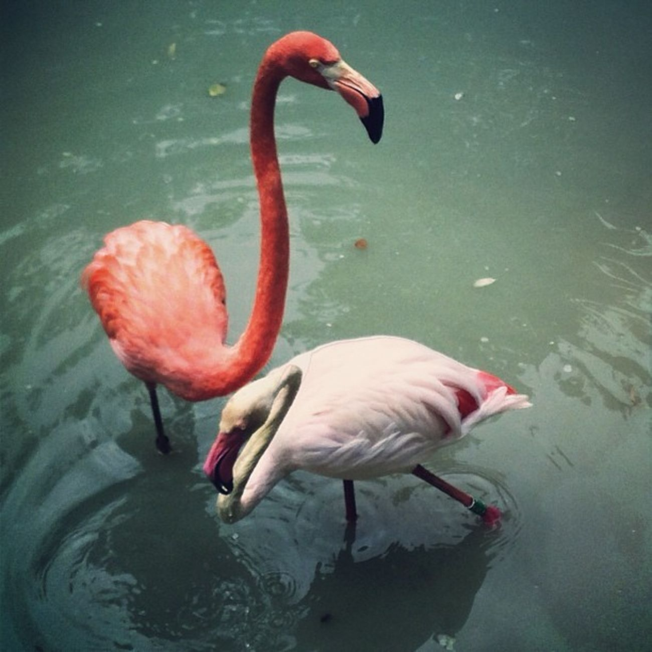 #киев #киевскийзоопарк #zoo #flamingo HRD_pics Киев Beautiful HDR Real_ukraine Ukraine_art инстаграм_порусски Amazing Insta_kyiv Zoo айфонография Flamingo Kiev киевскийзоопарк Iphoneonly Photooftheday Iphonesia Ukraine Photooftheweek украина