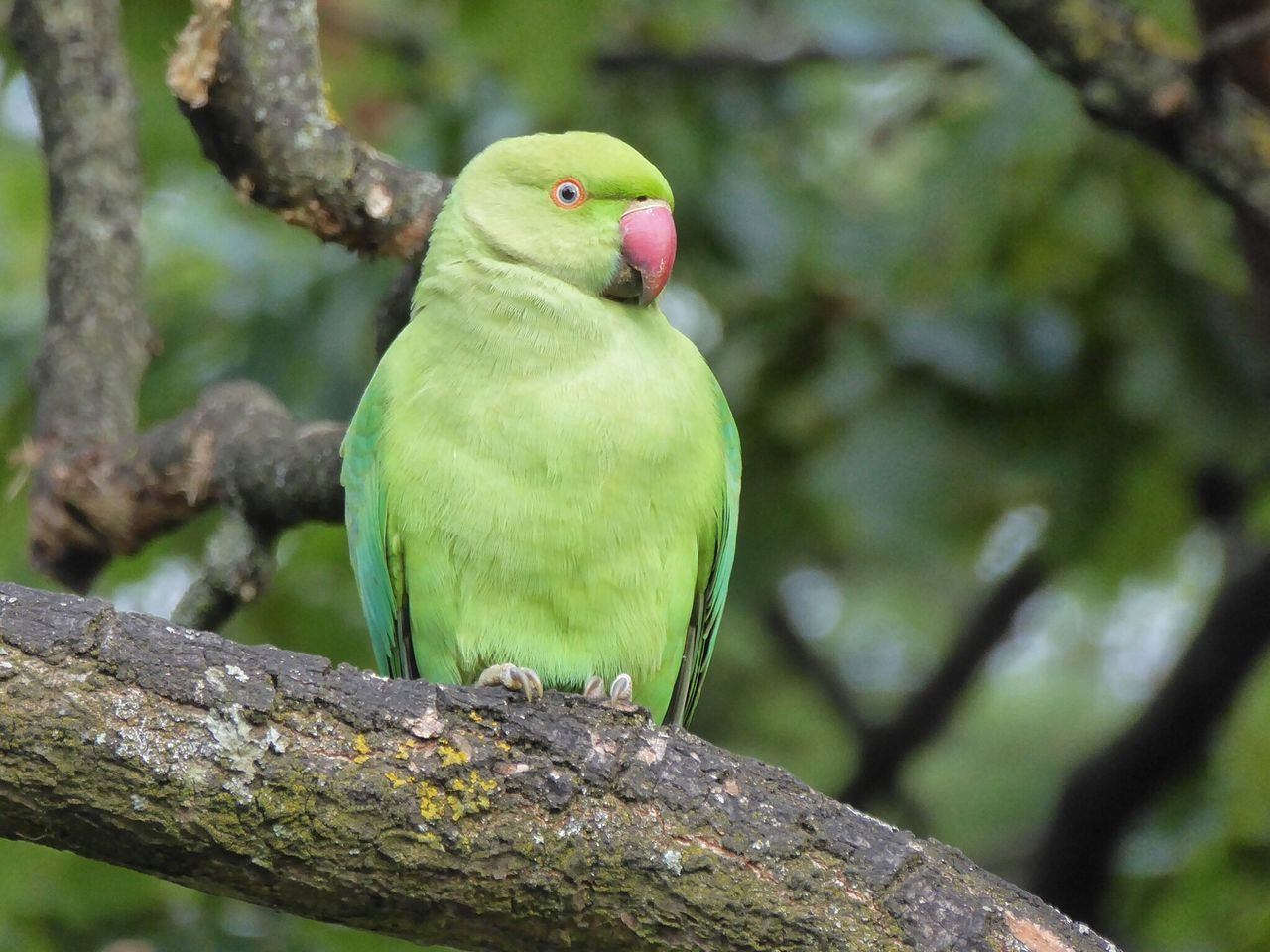 Rose Ring Parakeet Rose Ringed Parakeets Parakeet Parakeets Hyde Park Hyde Park, London London Parks London LONDON❤ Birds Bird Photography Birds_collection Birdwatching