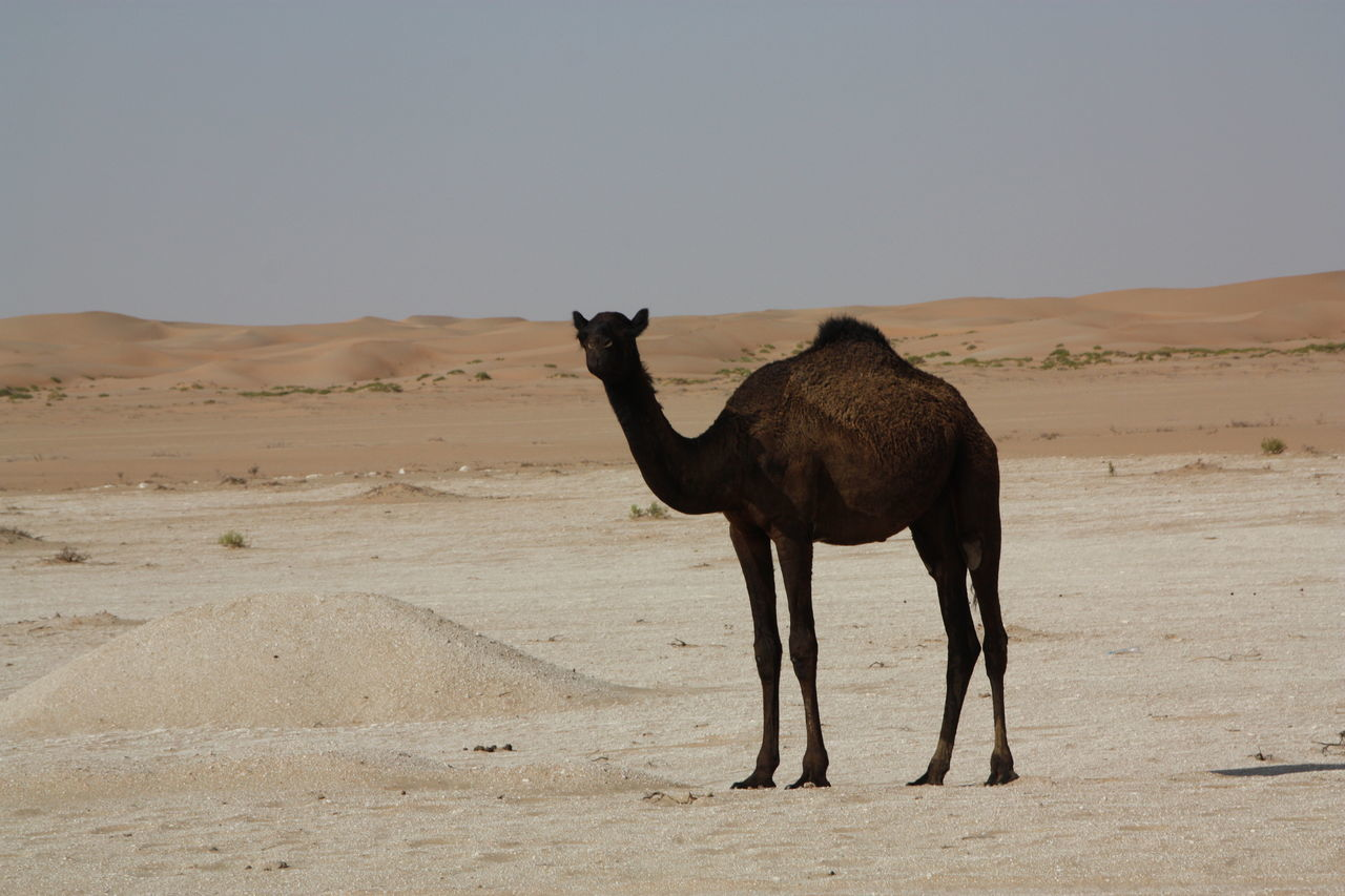 Beautiful stock photos of camel, Animal Themes, Arid Climate, Arid Landscape, Barren