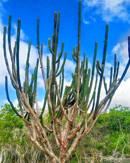 Mandacaru 🌵 Cactus Nature Sky No People Beauty In Nature