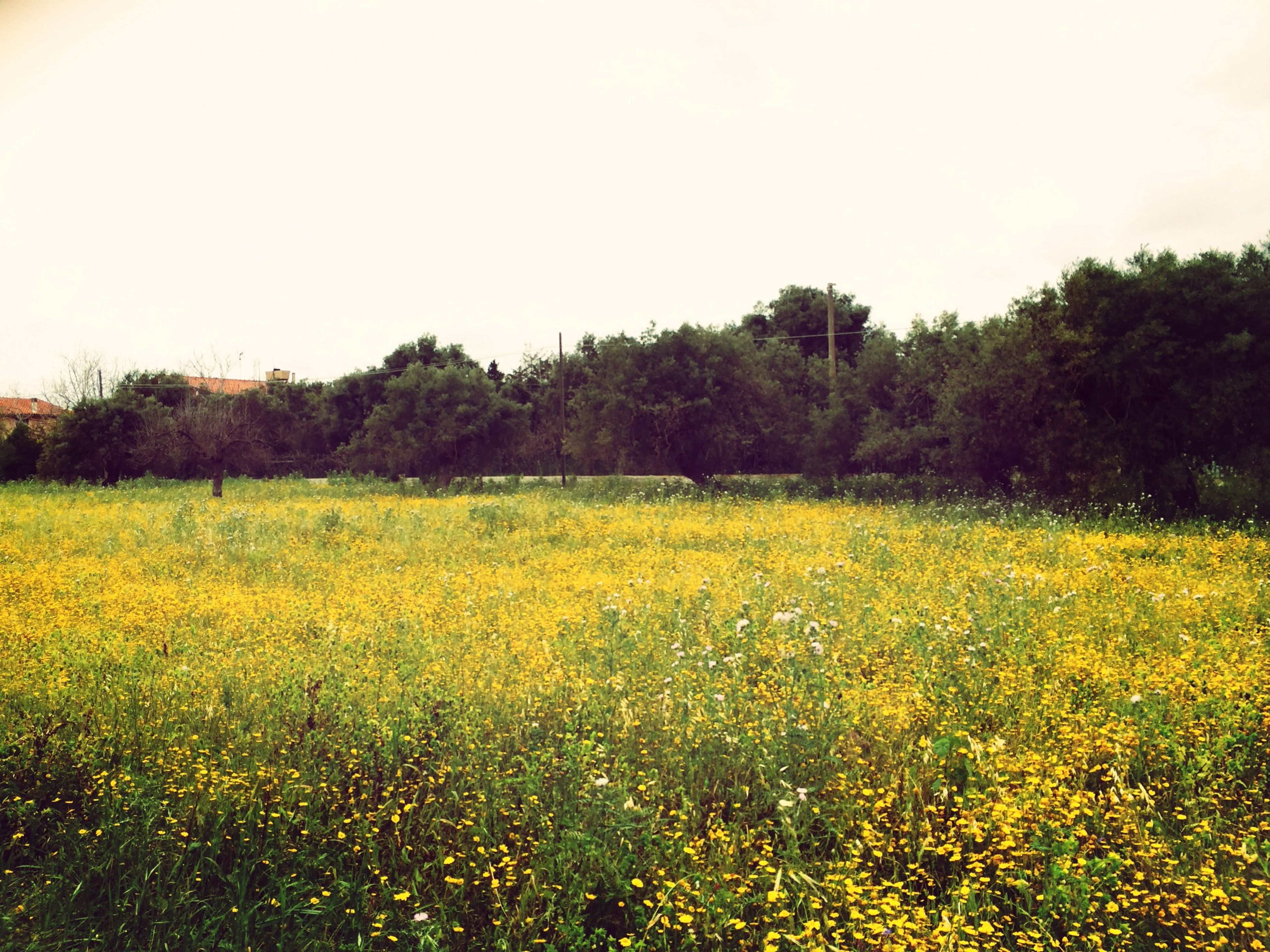 field, growth, yellow, flower, beauty in nature, tranquil scene, tranquility, clear sky, landscape, nature, tree, rural scene, scenics, freshness, agriculture, copy space, plant, grass, green color, outdoors