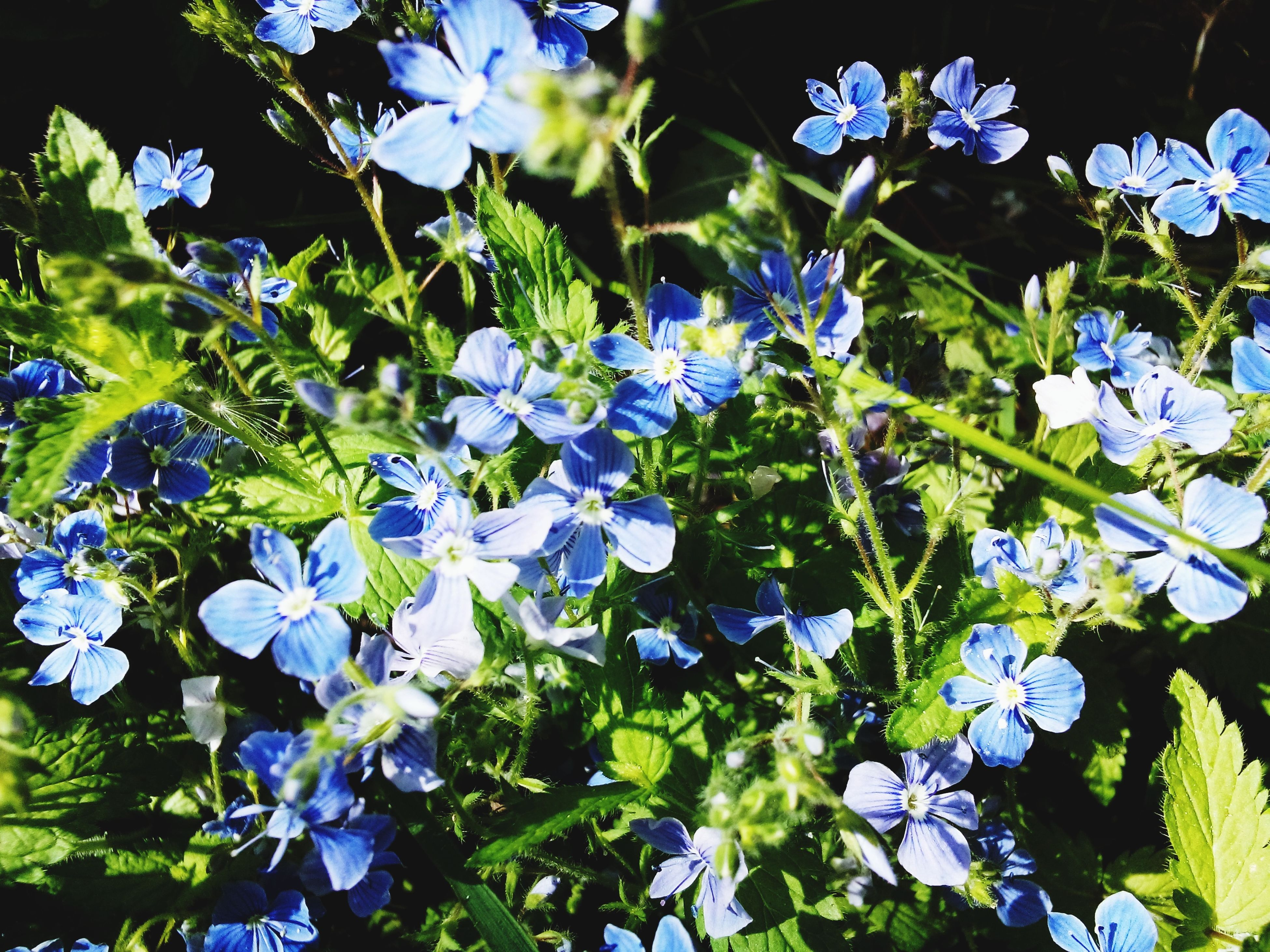 nature, growth, blue, freshness, flower, beauty in nature, fragility, no people, outdoors, day, close-up