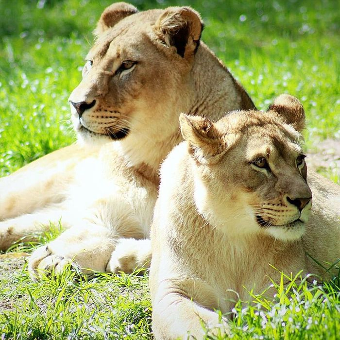 Lioness and cub Kamyaphotography Lion Lions Wildlife