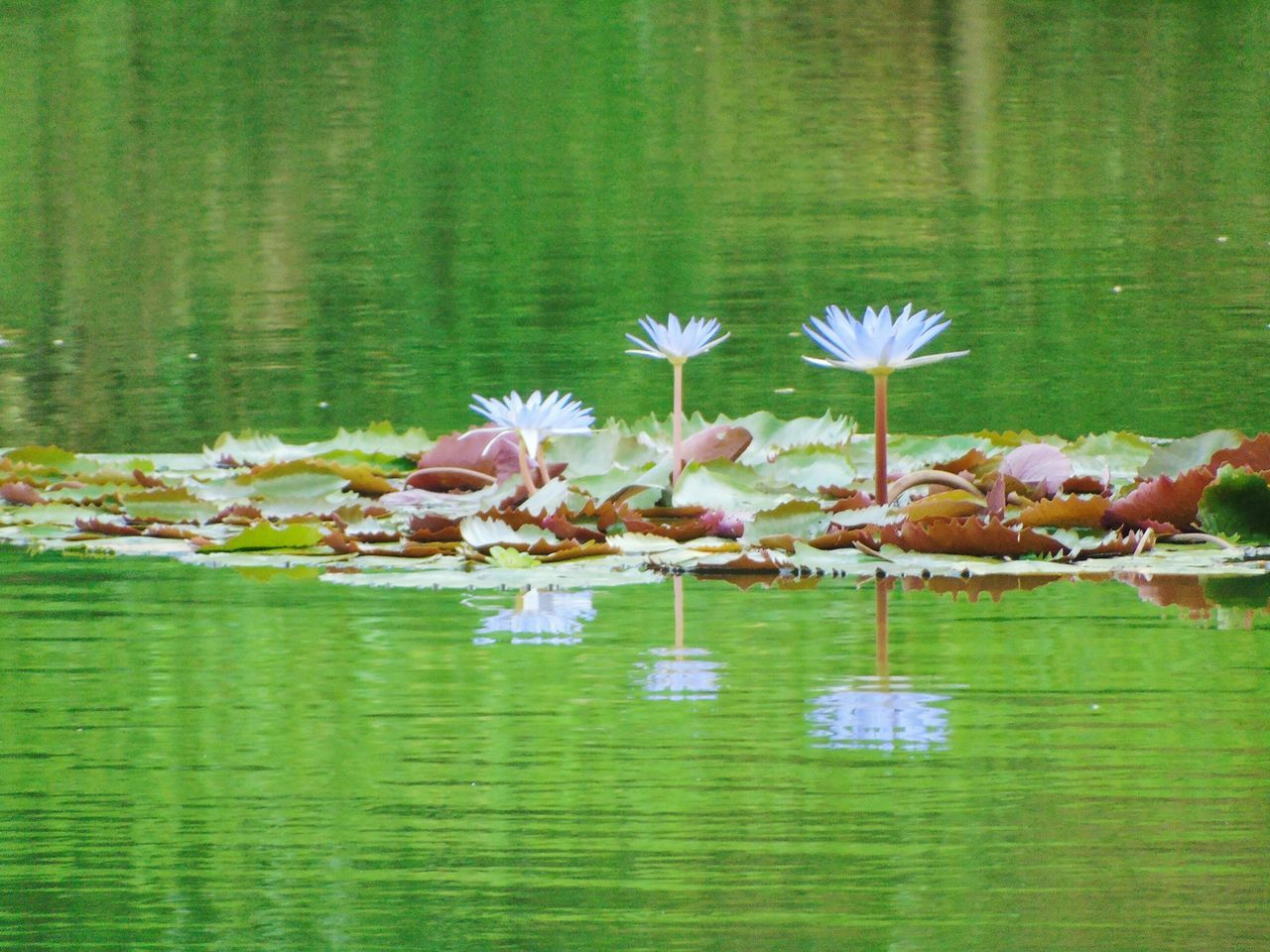 lake, water, reflection, flower, nature, beauty in nature, no people, waterfront, floating on water, water lily, green color, lotus water lily, day, outdoors, leaf, grass, lily pad, freshness, fragility, close-up