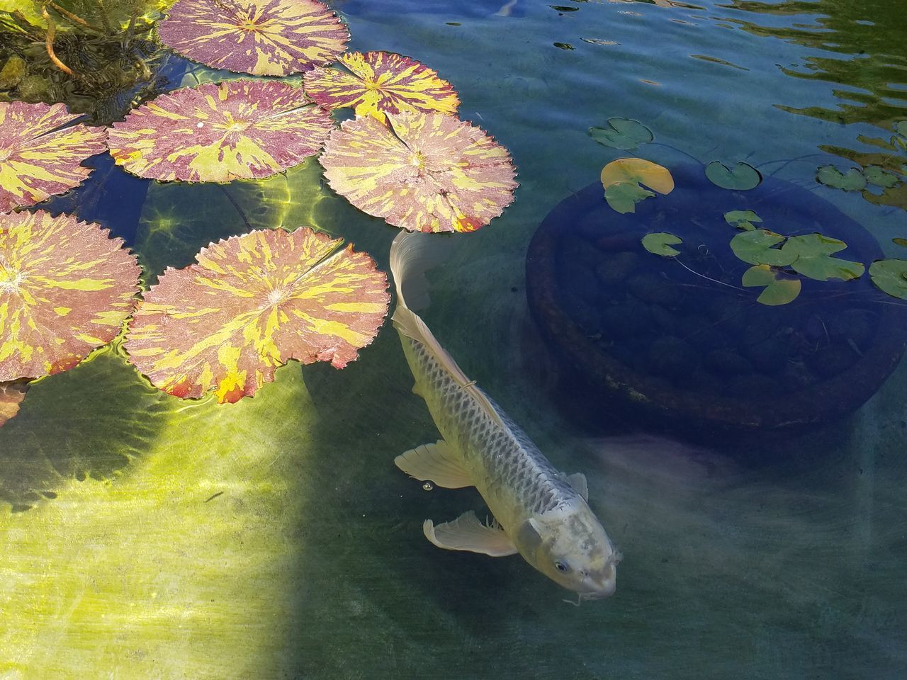 The Purist (no Edit, No Filter) Koi Lily Pad Fountain Water Surface Beauty In Nature Selective Focus Tranquil Scene Nature_collection Tranquility Fine Art Photography Check This Out Patterns & Textures Meditation Zen Nature Plant Life Botany Natural Pattern Natural Color Multi Colored Softness Peaceful Natural Beauty Nature_perfection Adapted To The City