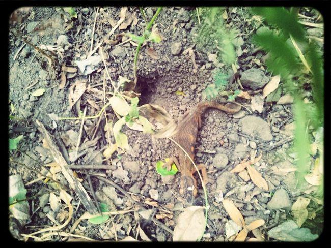 Lady Chameleon Digging Her Nest Chameleons