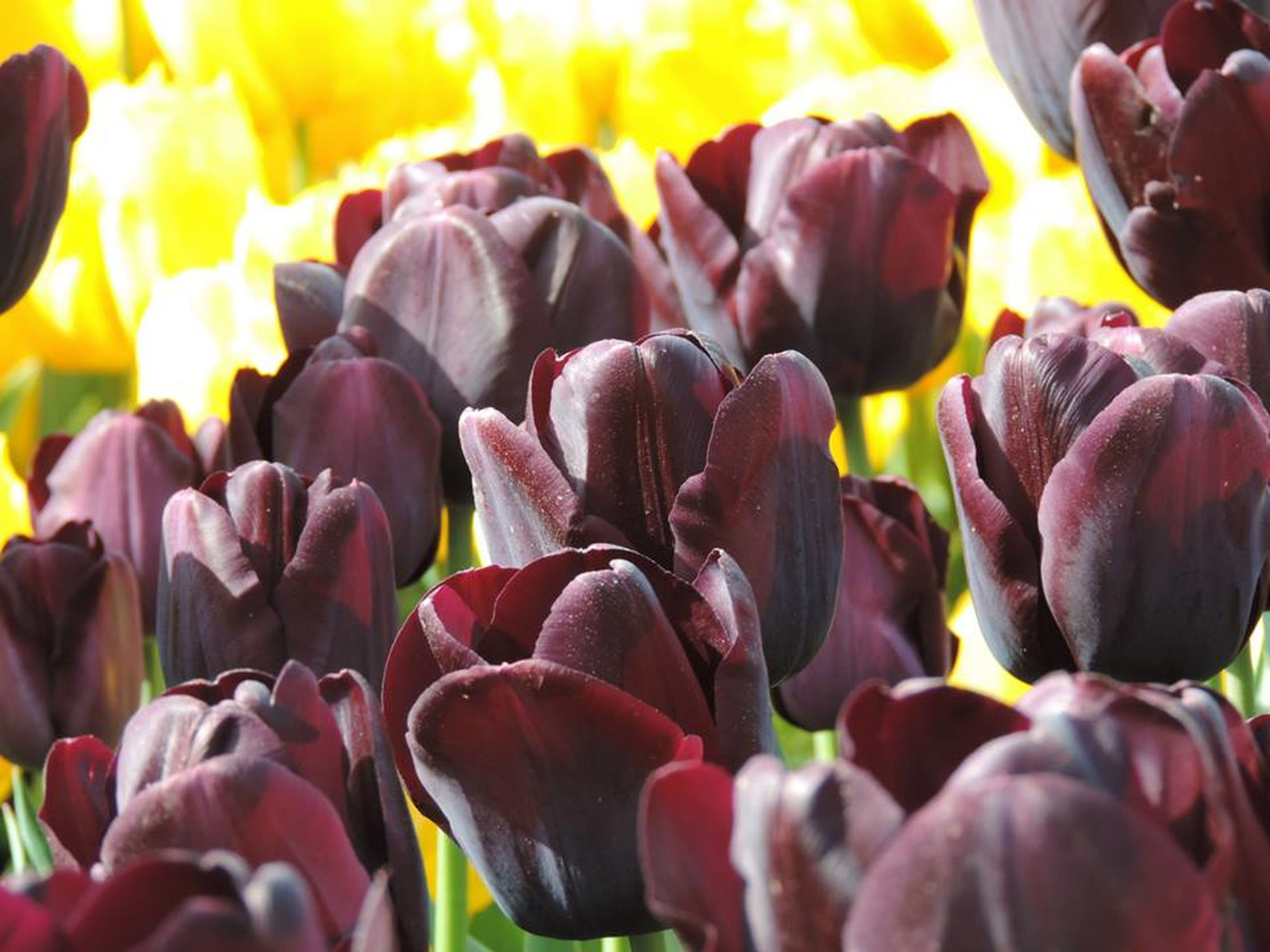 abundance, for sale, variation, large group of objects, full frame, backgrounds, tulip, retail, close-up, market stall, in a row, freshness, market, choice, multi colored, selective focus, outdoors, day, large group of people, focus on foreground
