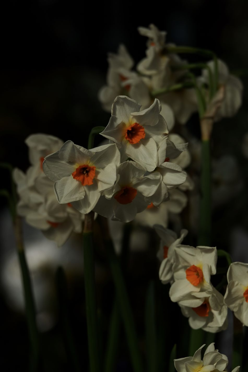 Beauty In Nature Blooming Close-up Daffodils Day Flower Flower Head Fragility Freshness Fujifilm_xseries Growth Myfujifilm Nature No People Outdoors Petal Plant