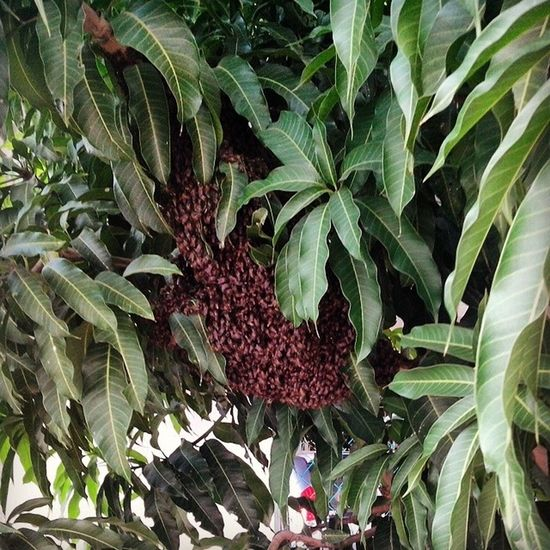 HOLY SHIT!!! Found a SUPER BIG BEE NEST on my mango tree!!!!!! And I'm was standing next to it without knowing that was a nest on the tree wei........ Well, it wasn't carpenter bees, bumblebees neither ground bees or wasp, it is honey bee !!!! WOW Beenest Superbig Verybig honeybeeonmytreeWTFwaitingforbombaexcitedscaryhibeescarpenterbeebumblebeegroundbeeswatevahazecausethis !