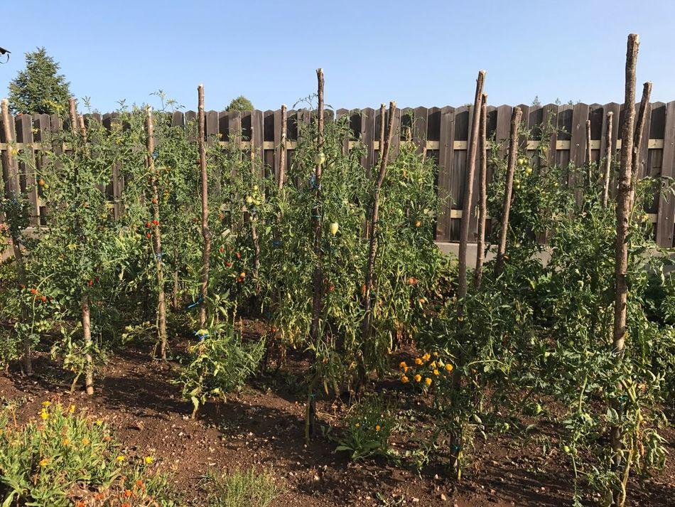 Tomatoes Growth Plant Agriculture Nature Day No People Outdoors Vineyard Green Color Rural Scene Sky Clear Sky Beauty In Nature