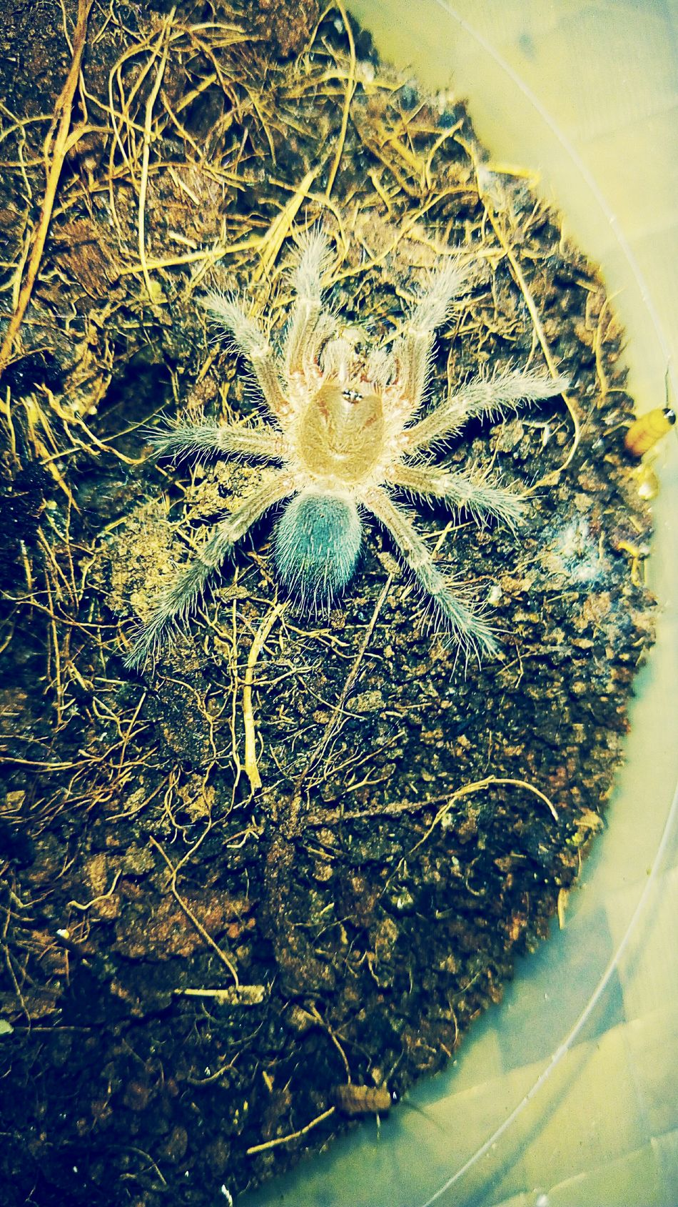 Tarantula Close-up Gold Colored Vagan Sling Spider Baby One Animal Animals Pets Petlover No People Full Frame Backgrounds Indoors  Day
