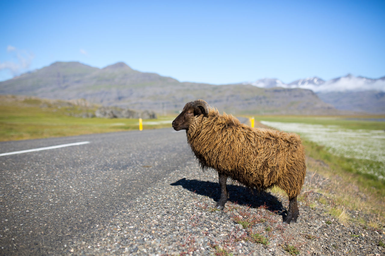 Beautiful stock photos of sheep, Horned Animal, animal Themes, beauty In Nature, country Road