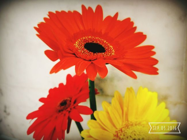 Flower Fragility Freshness Petal Flower Head Close-up Daisy Yellow Vibrant Color Orange Color Selective Focus In Bloom Red Plant Flower Freshness Fragility Petal Flower Head Close-up Beauty In Nature Growth Daisy Yellow Orange Color