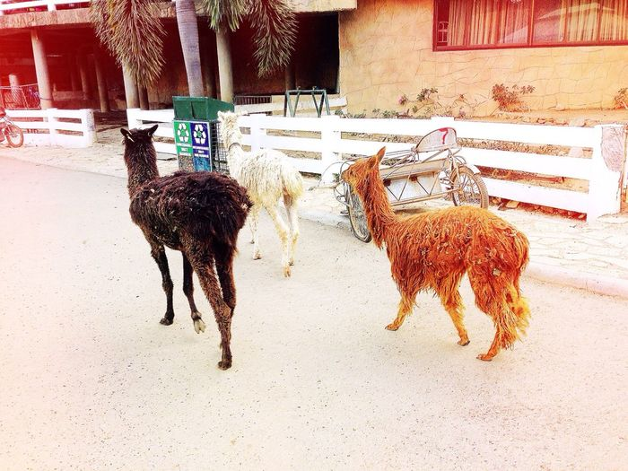Walking With Llamas Animal Love Animal Instincts I Love